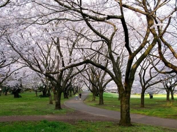 Аллея цветущих деревьев белой сакуры. Фото