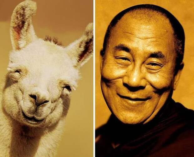лама и Далай-лама животные, копии, юмор