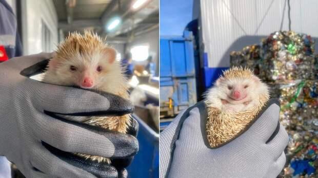 Чудом спасен: ежа-альбиноса нашли на мусорном предприятии в Ульяновске