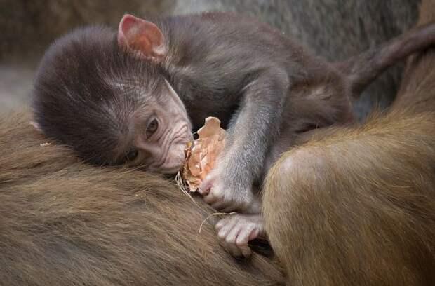 9. Детёныш павиана детеныш, животные