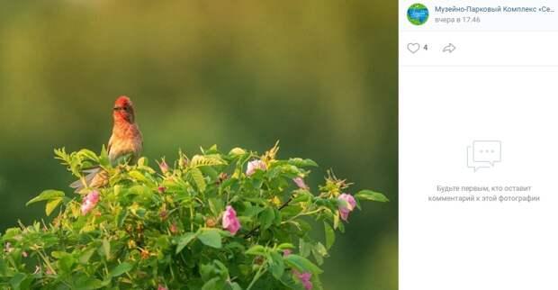 Птицу-чечевицу сфотографировали в парке «Северное Тушино»