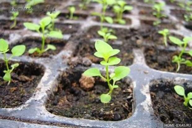 Как вырастить рассаду однолетников начинающим садоводам