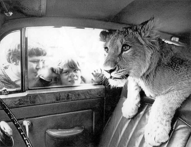 Лев Кристиан и его друзья: история необычного домашнего питомца Кристиан, возвращение животных, домашний любимец, животные и люди, история любви, лев, реабилитация, спасение львенка