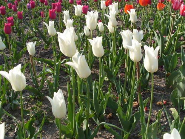 Тюльпан сорт Жемчужный