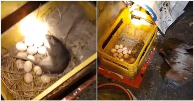Мама-курица спасла своё потомство от голодной крысы видео, животные, кладка яиц, крыса, курица, мама, яйца