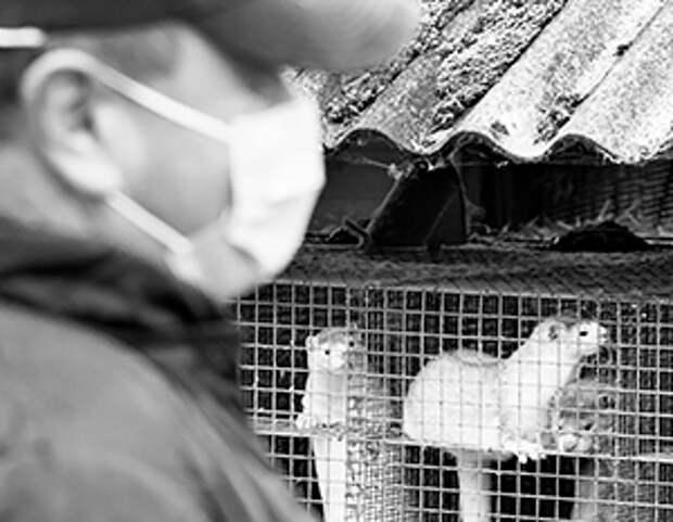 Миллионы ни в чем не повинных норок стали жертвами коронавируса