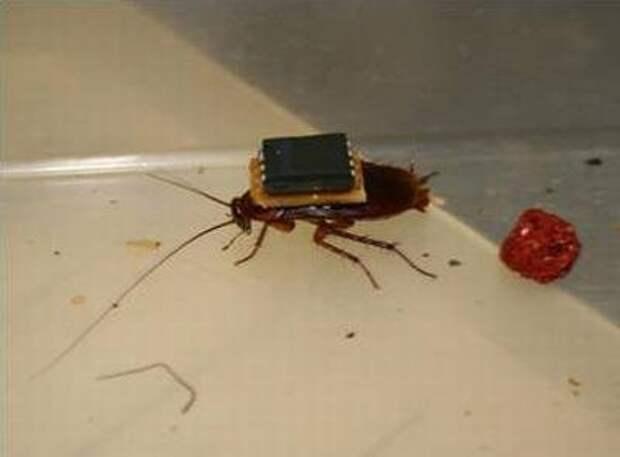 Ученые научились с помощью пульта управлять живыми тараканами
