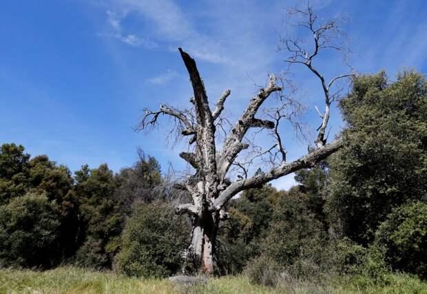 Калифорнийский дуб