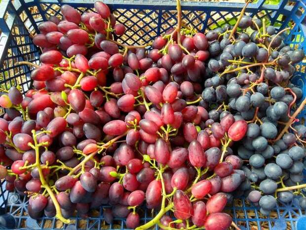 Как выращивать виноград в северных районах. Полная версия Виноградник, Виноград, Новополоцк, Садоводство, Сад, Дача, Длиннопост