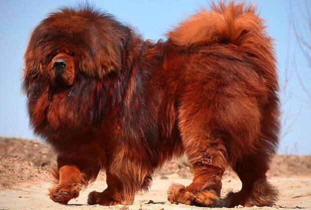 Вот как выглядит самая дорогая собака в мире. $1,5 млн за одного щенка!