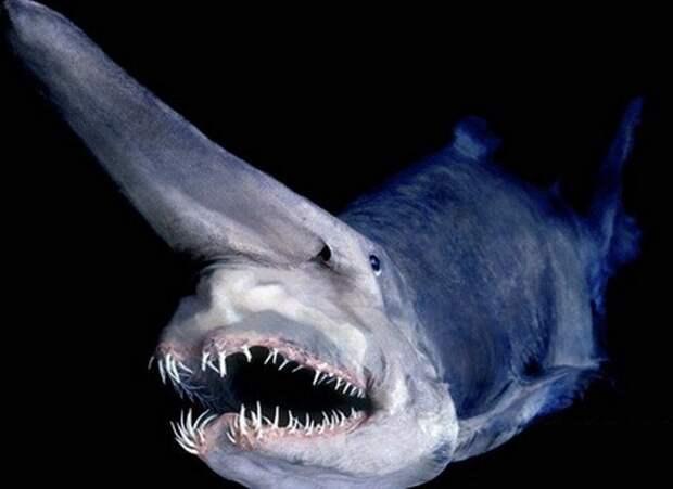 Акула-гоблин животные, фото