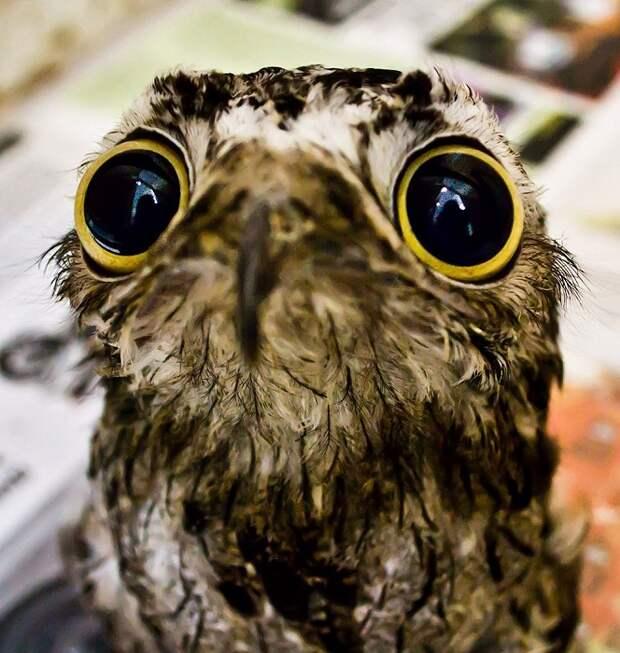 Урутау — ночная хищная птица.