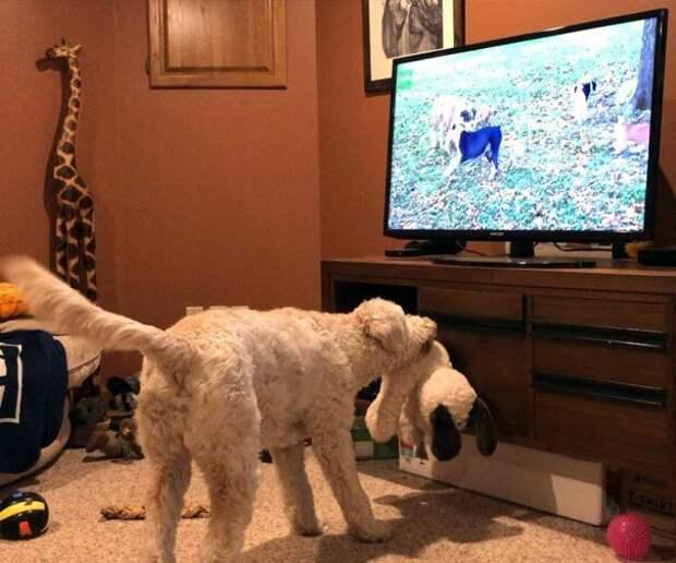 10. С удовольствием смотрит передачи про собак, еще и демонстрирует телевизору свои игрушки  баловство, животные, питомец, поведение, собака, странность, юмор