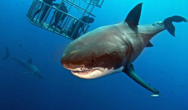 Редкие снимки водолазов, которые кормят и трогают большую белую акулу