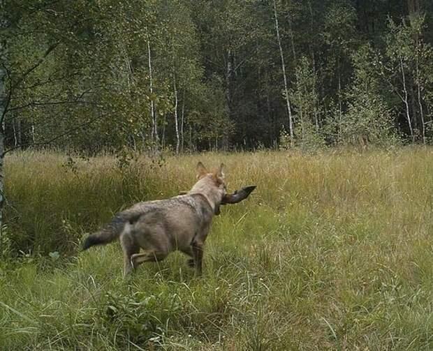 6. Волки