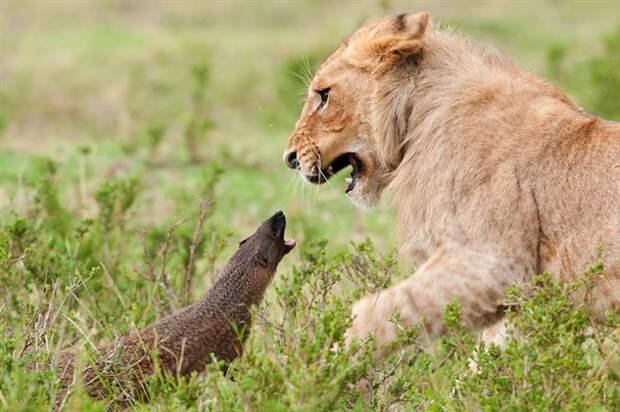 Фараонова крыса: Я у мамы психопат. Как мангусты гоняют львов и кромсают ядовитых змей (6 фото + 2 видео)