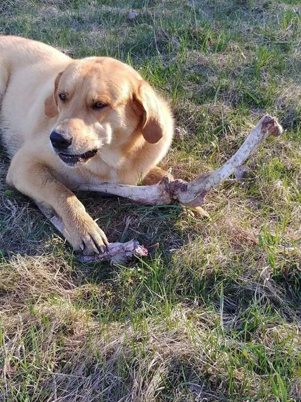 Барибал, живущий неподалеку, приносит псу оленьи кости в обмен на доступ к мусорному баку животные, история, канада, медведь, мусор, подкуп, собака