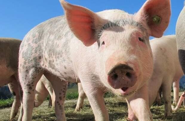 Ученые обнаружили, что свиньи умнее собак