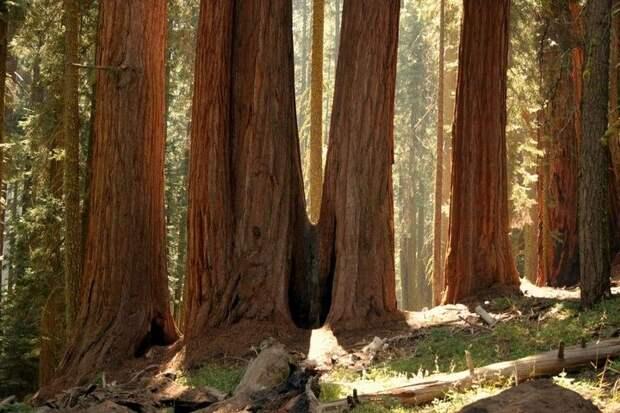 Секвойя — гигант среди деревьев…