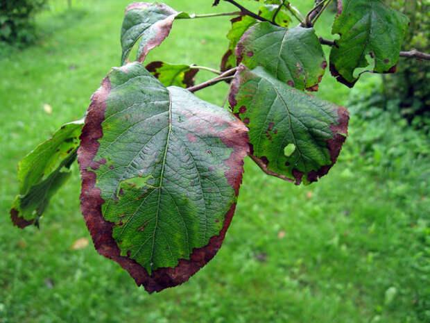 Пораженные листья яблони