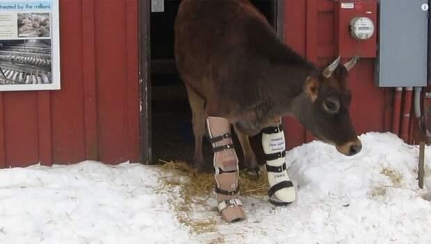 Двуногая корова научилась ходить с помощью протезов