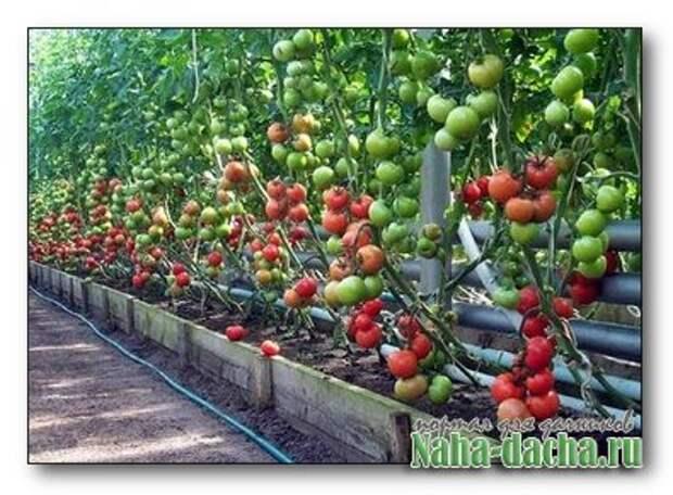 Выращивание томатов