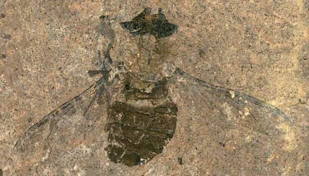 Немецкие ученые нашли ископаемую муху с полным брюшком пыльцы