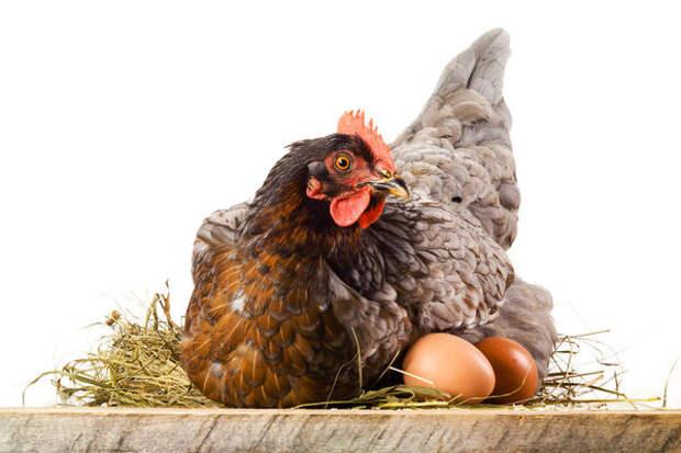 Курицы одной и той же породы в одних и тех же условиях могут нестись по-разному