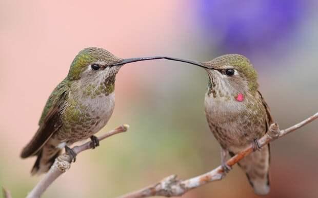 Колибри - самая маленькая птица в мире. Фото