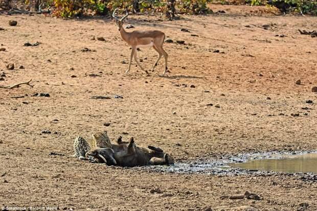 Местность вокруг: Эта антилопа не знает, что оказавшись здесь на несколько минут раньше она могла бы разделить судьбу бородавочника бородавочник, животные, леопард, охота, природа