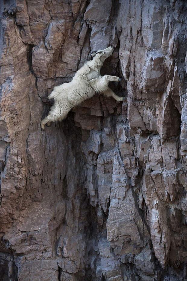 37 фотографий о том, что козы бесстрашные животные - 15