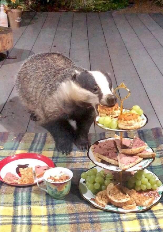 Семья барсуков приходит к женщине, чтобы вкусно поесть, и, к счастью, их никто не прогоняет