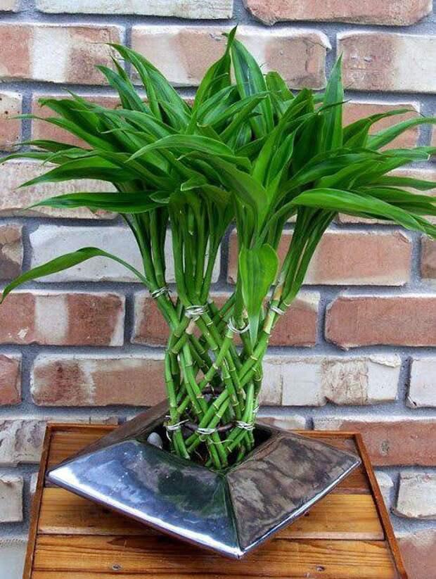 Комнатный бамбук — растение удачи