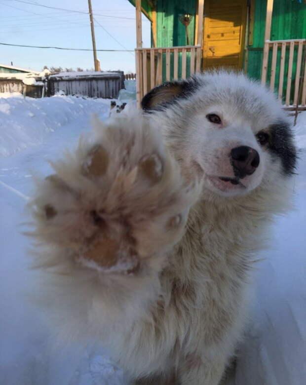 Героический поступок: пес Бөтөс спас жительницу якутского села женщина, собака, спасение, якутск