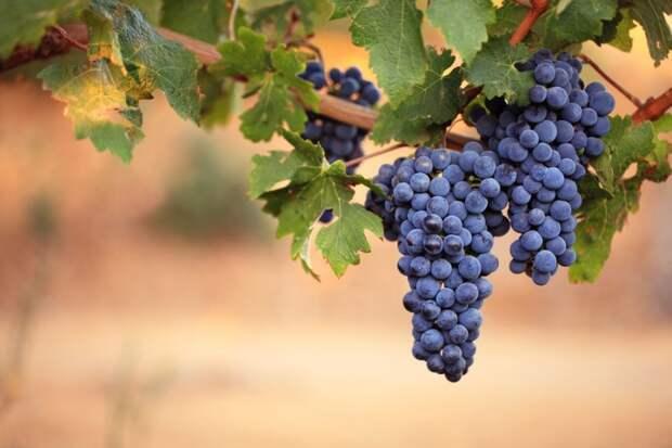 Ошибки в выращивании винограда