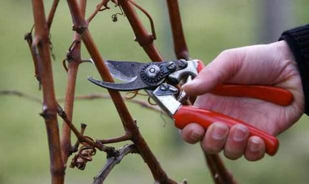 http://pcarbonat.ru/wp-content/uploads/2012/09/obrezka-vinograda.jpg
