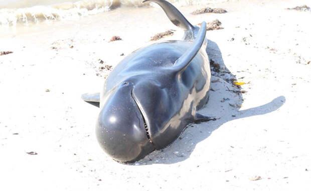 Почему киты и дельфины выбрасываются на берег