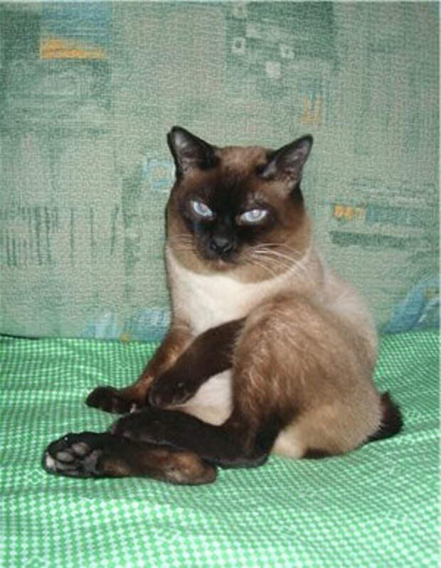 По дороге домой за женщиной последовал котёнок породы скиф-той-боб. Он не хотел уходить, и в итоге обрёл себе тёплый дом