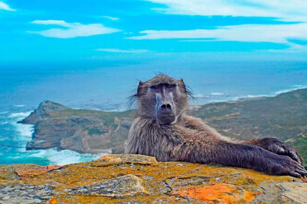 Фотограф снимал пейзажи южной оконечности Южной Африки, когда внезапно ниоткуда вылез в кадр бабуин