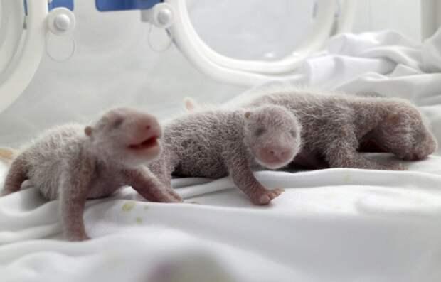 Первые выжившие тройняшки панды