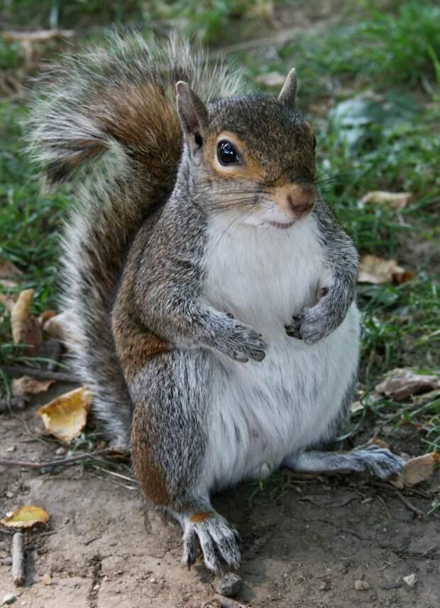 Белка, которая запасла слишком много орешков. животные, милахи, пухляки, толстяки