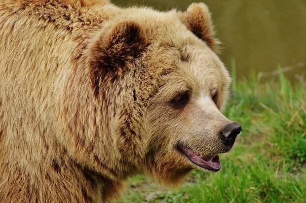 В Сочи после нападения медведей погиб ребенок