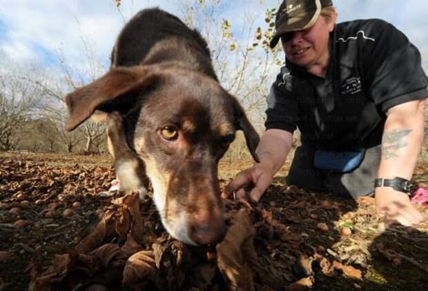 Стоимость специально обученной к поиску трюфелей собаки может превосходить цену самих грибов того же веса. дорого, еда, трюфель