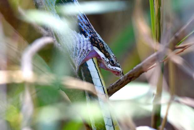 Змея каннибал 6