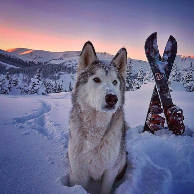 Помесь хаски и волка