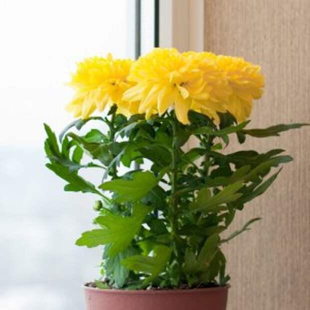 Комнатные цветы на западном окне
