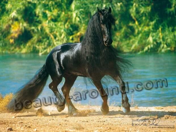 Фризская лошадь (Фриз)