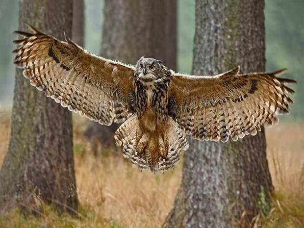 Крылья филина длинные и мощные, их размах впечатляет, а у самых крупных экземпляров достигает 1,8 - 1,9 м.