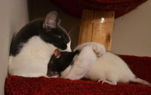 Крысы — нет никого хуже! животные, крыса, милота, позитив