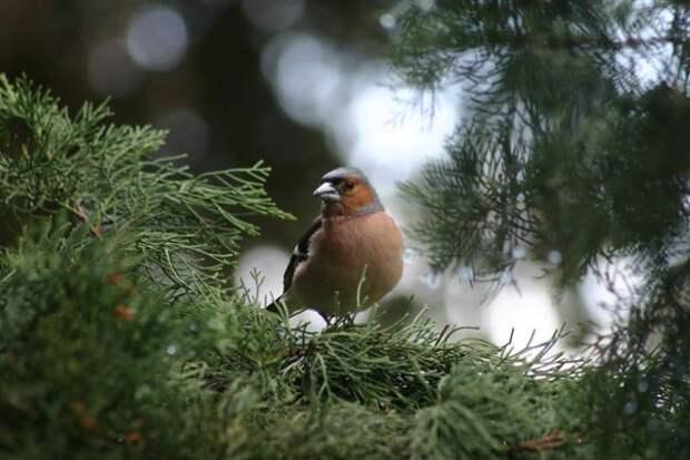 Птицы в убежище живой изгороди из кипариса